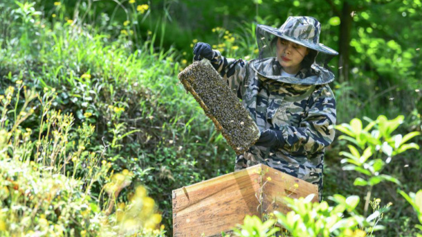 Young girl comes back to hometown to help villages develop bee breeding industry